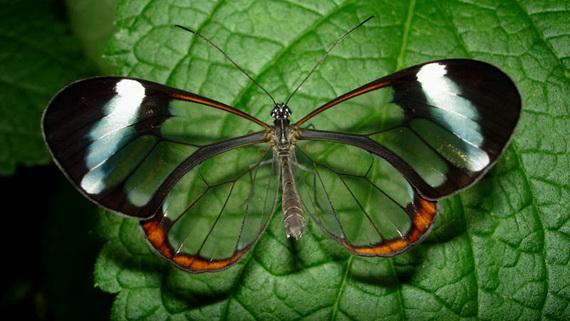 стеклянная бабочка3 (570x321, 92Kb)