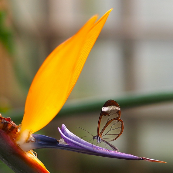 стеклянная бабочка5 (570x570, 76Kb)