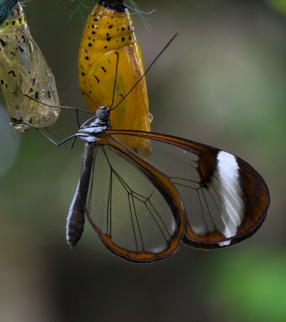 стеклянная бабочка7 (570x641, 102Kb)