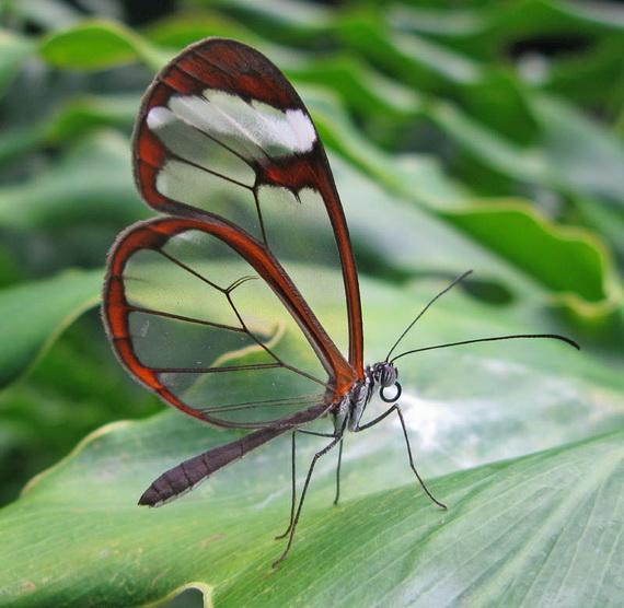 стеклянная бабочка9 (570x556, 121Kb)