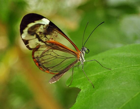 стеклянная бабочка11 (570x444, 82Kb)