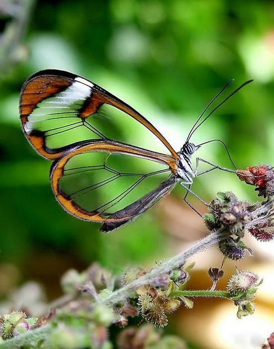 стеклянная бабочка13 (550x700, 118Kb)