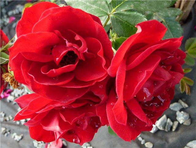 3 красные розы (640x484, 61Kb)