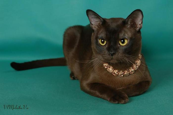 Бурманская кошка милые кошки
