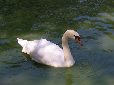 mute-swan (450x338, 30Kb)