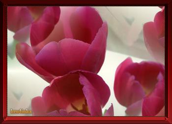 Тюльпаны (350x252, 98Kb)