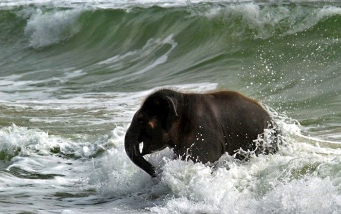 1332091840__elephant_swim_04 (700x440, 61Kb)