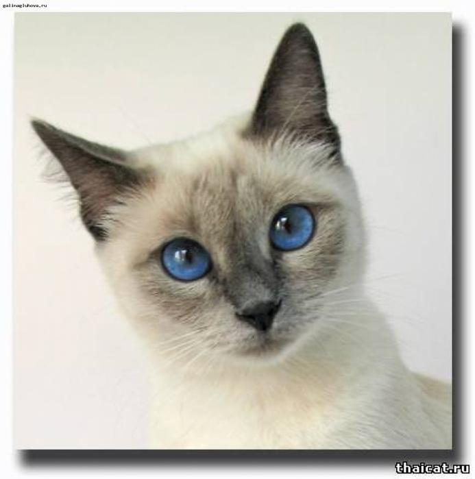 Фото сиамской кошки окраса блю пойнт