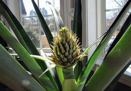 Для выращивания ананаса в домашних условиях нужен спелый плод со свежими листьями, главное - не промороженными.