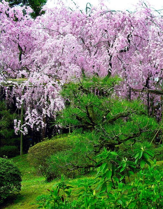 Японский сад фото 42 (546x700, 647Kb)