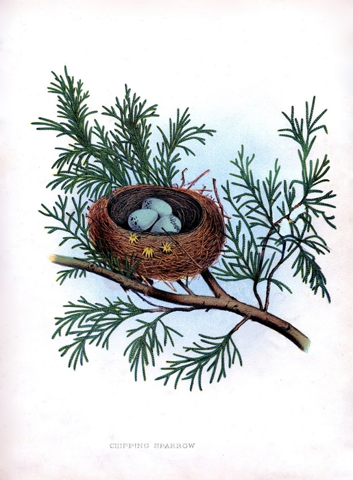 bird nest pine vintage image graphicsfairy11sm (515x700, 244Kb)