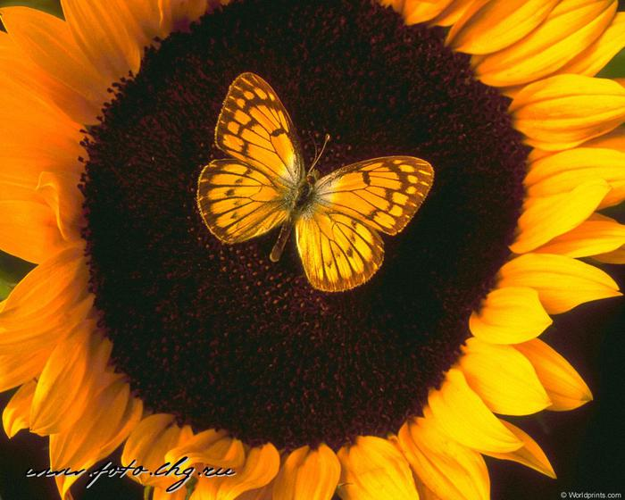 0---foto--animals--bugs--butterfly_sunflower (700x560, 58Kb)