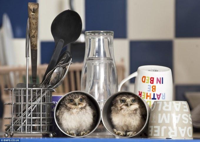 Jimmy Robinson - orphan baby owls 01-thumb-680x485-205787 (680x485, 66Kb)