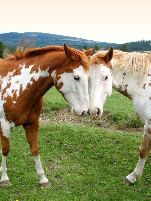 love-picture-horses-starlisa-love (480x640, 183Kb)