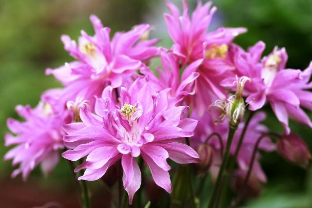 В средневековье цветы аквилегий преподносили только женщинам свободного нрава.  Если водосбор был подарен мужчине...