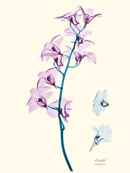 Рентгеновские снимки цветов от Brendan Fitzpatrick 3 (525x700, 141Kb)