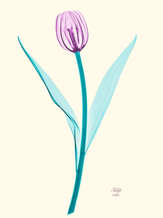 Рентгеновские снимки цветов от Brendan Fitzpatrick 5 (525x700, 104Kb)