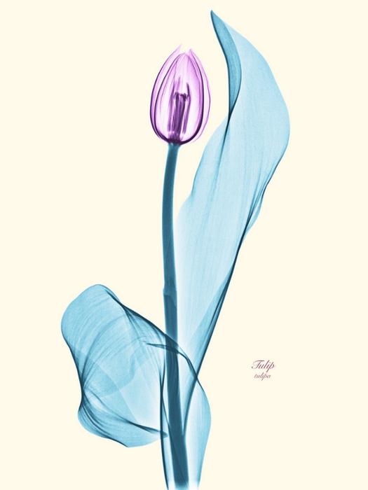 Рентгеновские снимки цветов от Brendan Fitzpatrick 9 (525x700, 143Kb)
