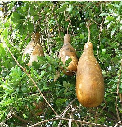 колбасное дерево (393x409, 72Kb)