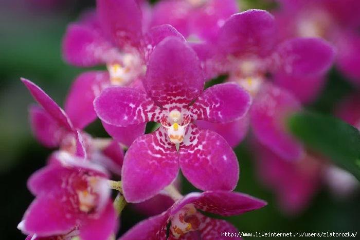 =орхидея (700x468, 160Kb)