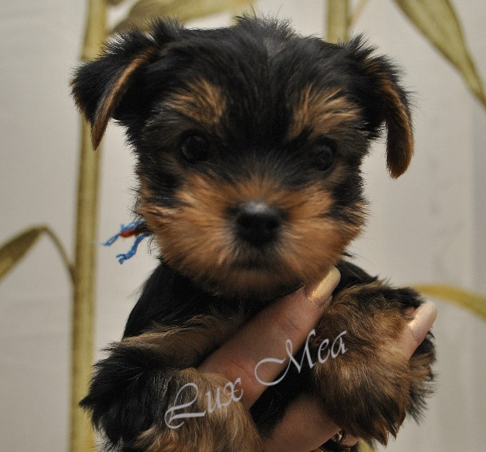 3979564_yorkshire_terrier_zippy (700x651, 174Kb)
