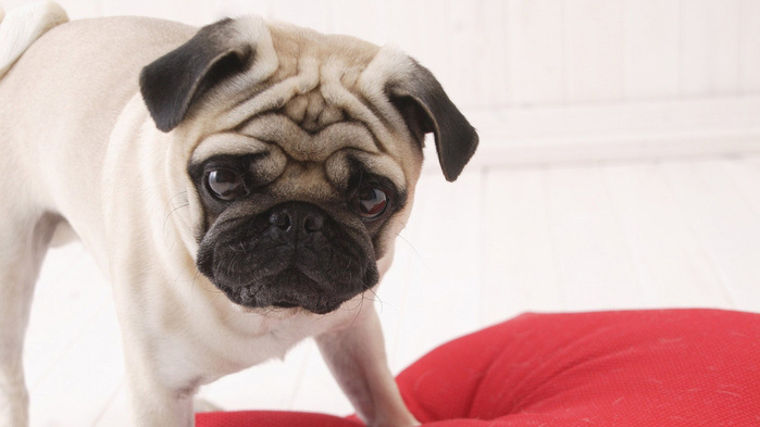 pug-dog-wallpaper-1366x768 (4) (700x393, 71Kb)