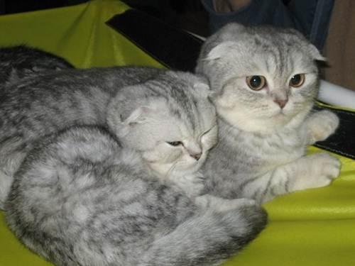 кошки (500x375, 23Kb)