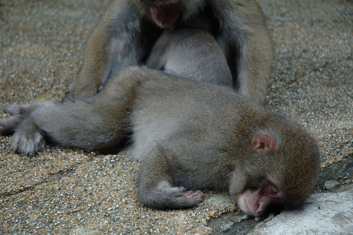 800px-Japanese_Macaques_sleeping (700x465, 85Kb)
