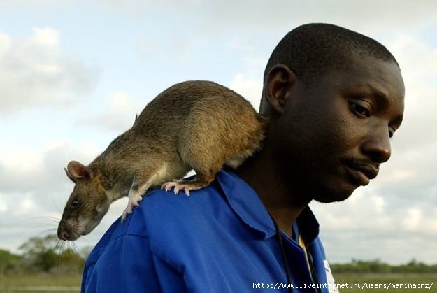 1333218878_gambian_pouched_rats7 (625x419, 127Kb)