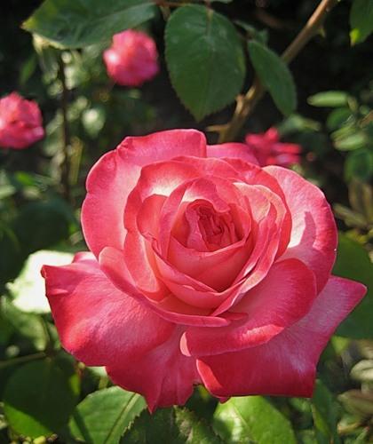 роза-красота2 (420x500, 57Kb)