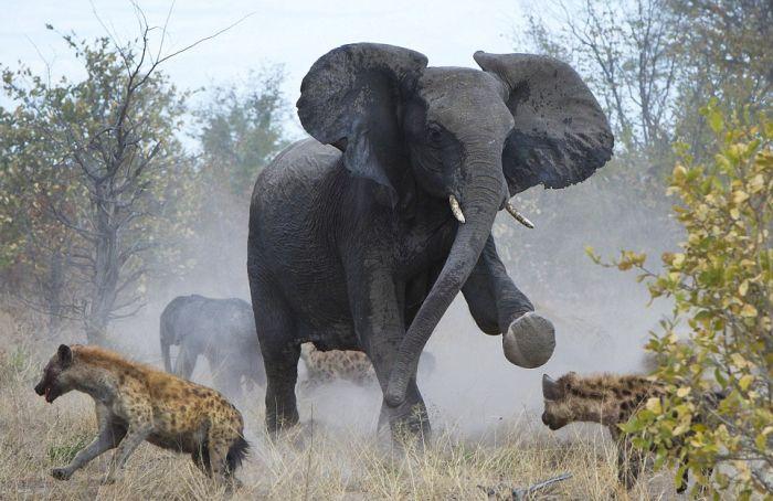 elephant_01 (700x454, 65Kb)
