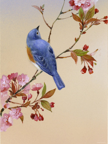 blue-bird-on-cherry-blossom-branch (366x488, 53Kb)
