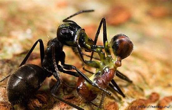 ant (550x352, 115Kb)