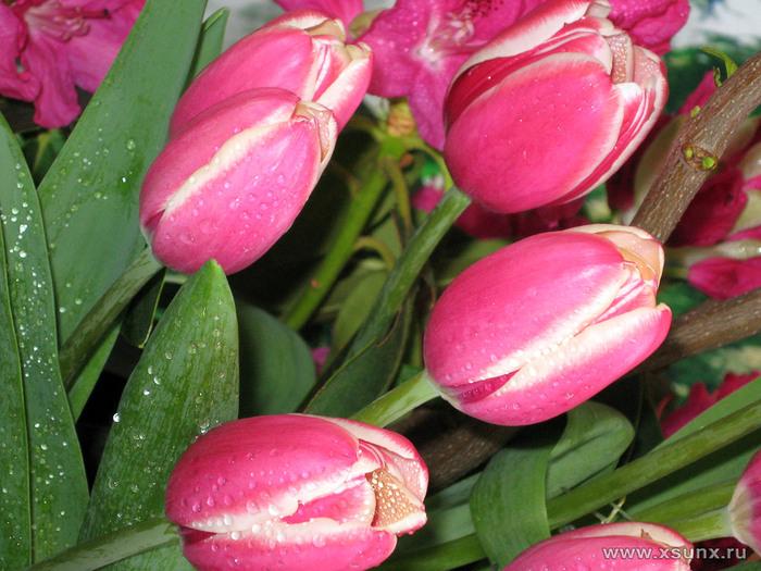 tulip1111 (700x525, 149Kb)