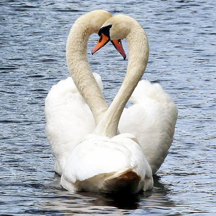 В белых лебедей душ людских
