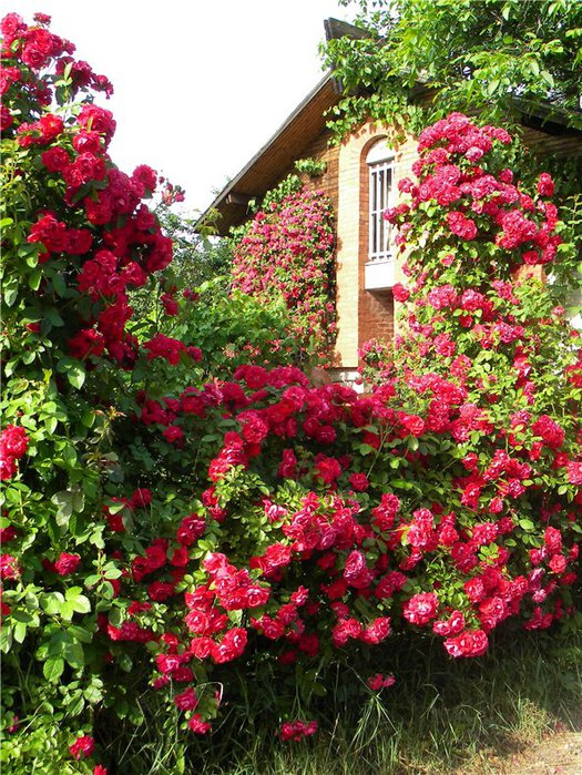 Оформление плетистых роз 4