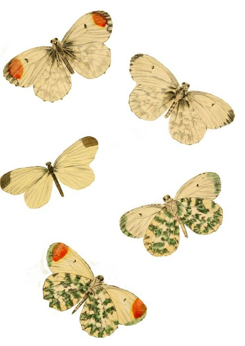 1278202282_55_FT838_butterflies-natural-history-of-british-butterflies-plate-10_copy_ (495x700, 38Kb)