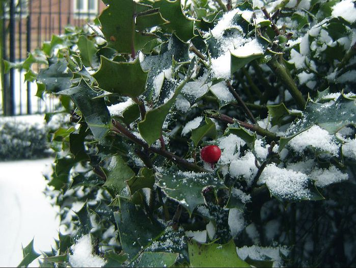 jap_Holly_in_Winter (700x525, 92Kb)