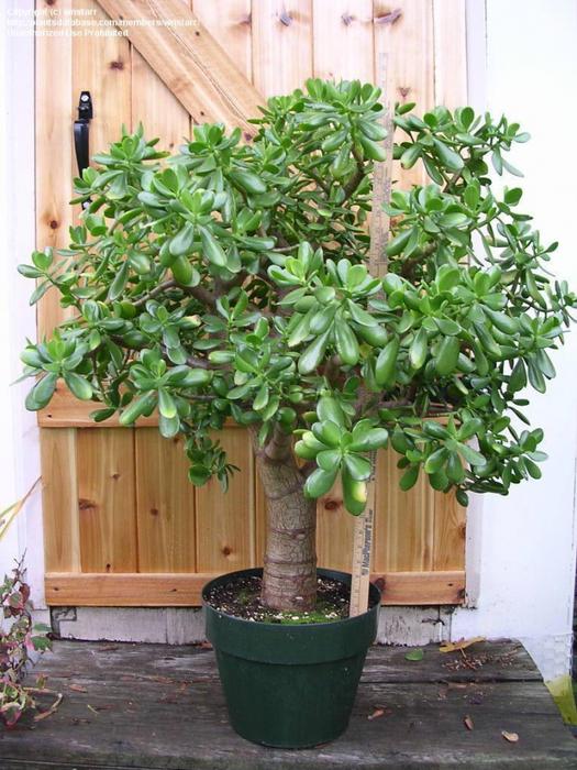 """Классическая форма  """"денежного дерева """" - это именно деревце.  Чтобы толстянка разрослась пышным деревцем, во-первых..."""