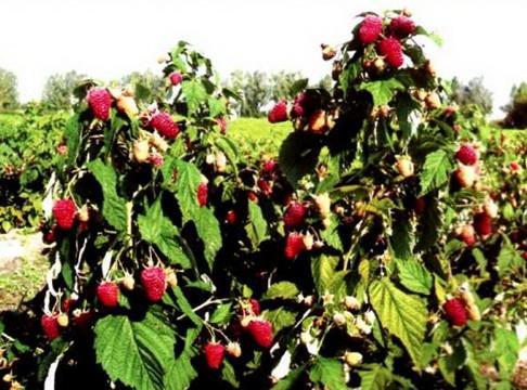 малина бабье лето описание сорта фото