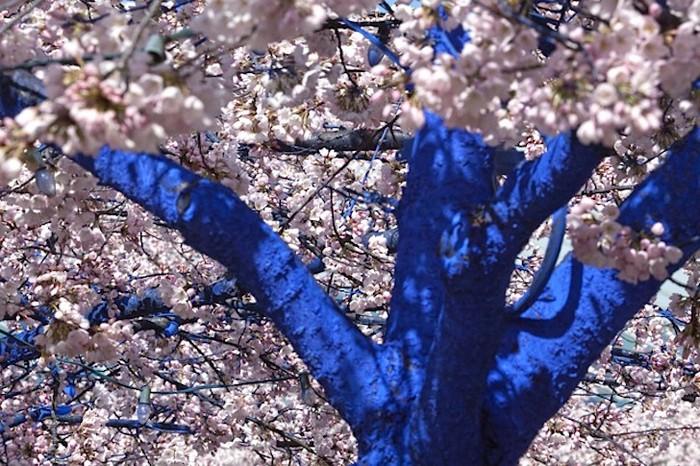 3925073_BlueTrees6 (700x466, 139Kb)