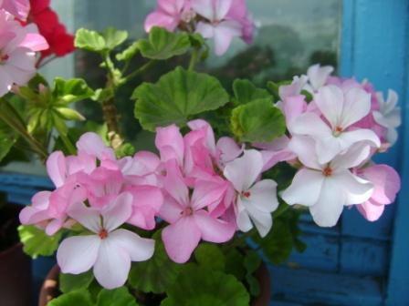 Изображение моих цветов 093 (448x336, 44Kb)