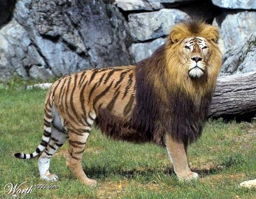 Картинки по запросу тигролев