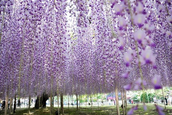 ashikaga-flower-park-5 (700x468, 223Kb)