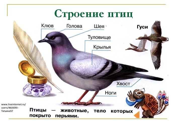 Схема внешнего строения птицы