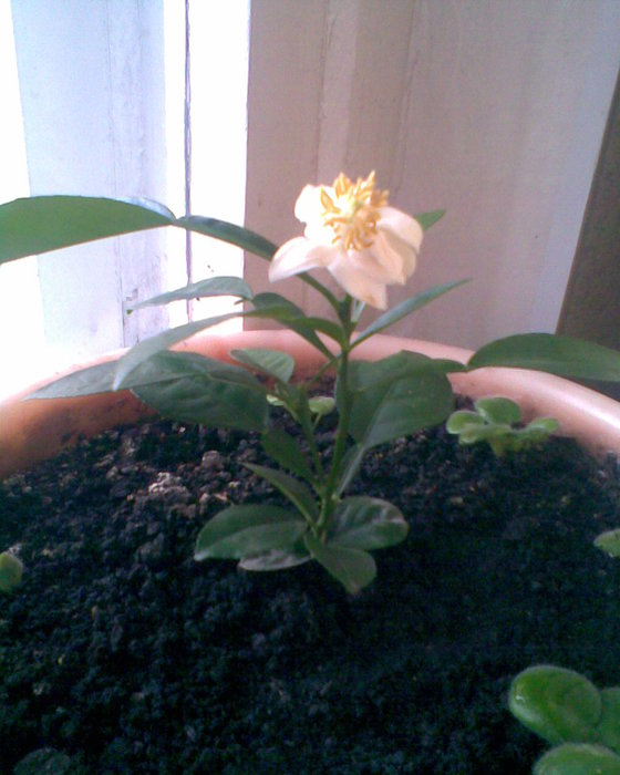как цветет помело