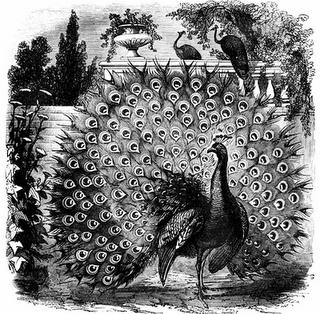 peacock_13045_lg (320x314, 216Kb)