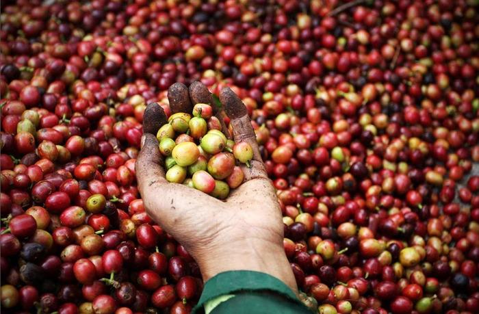 как делают кофе 1 (700x459, 150Kb)