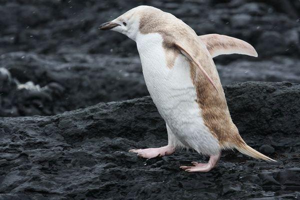 пингвин (600x400, 45Kb)