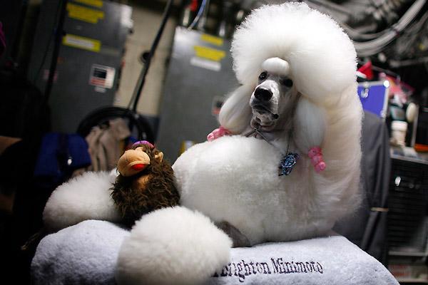 westminster_kennel_club_dog_show05 (600x400, 61Kb)